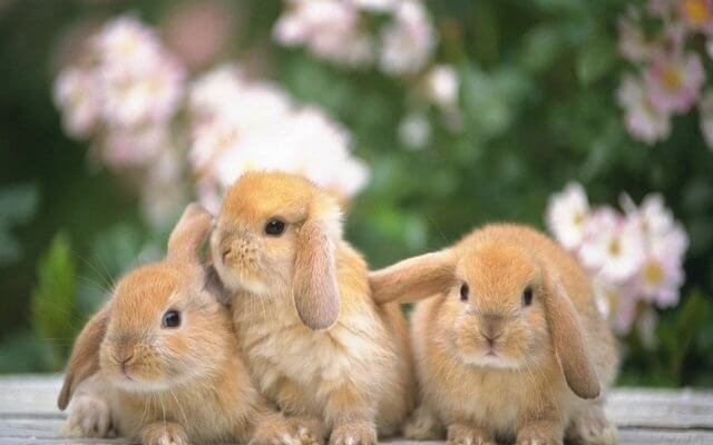 3-rabbits-wallpaper-2-640.400