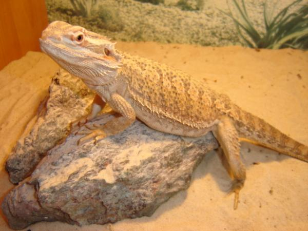 Bearded Dragon Reptile Carpet 12 000 Carpet Cleaners