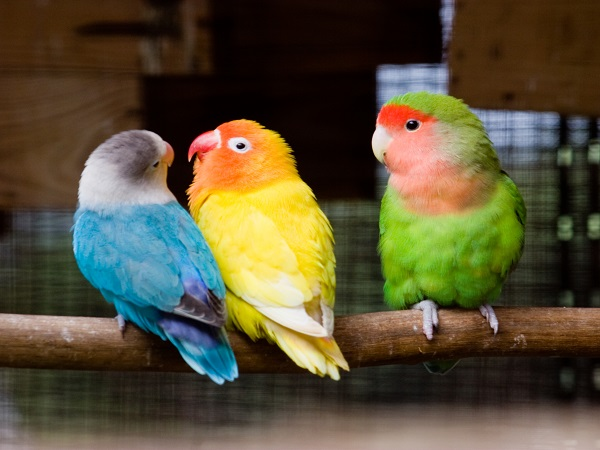 Yellow Love Birds Images